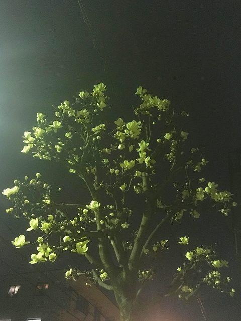 街路樹のハクモクレン【植物男子 第2話】
