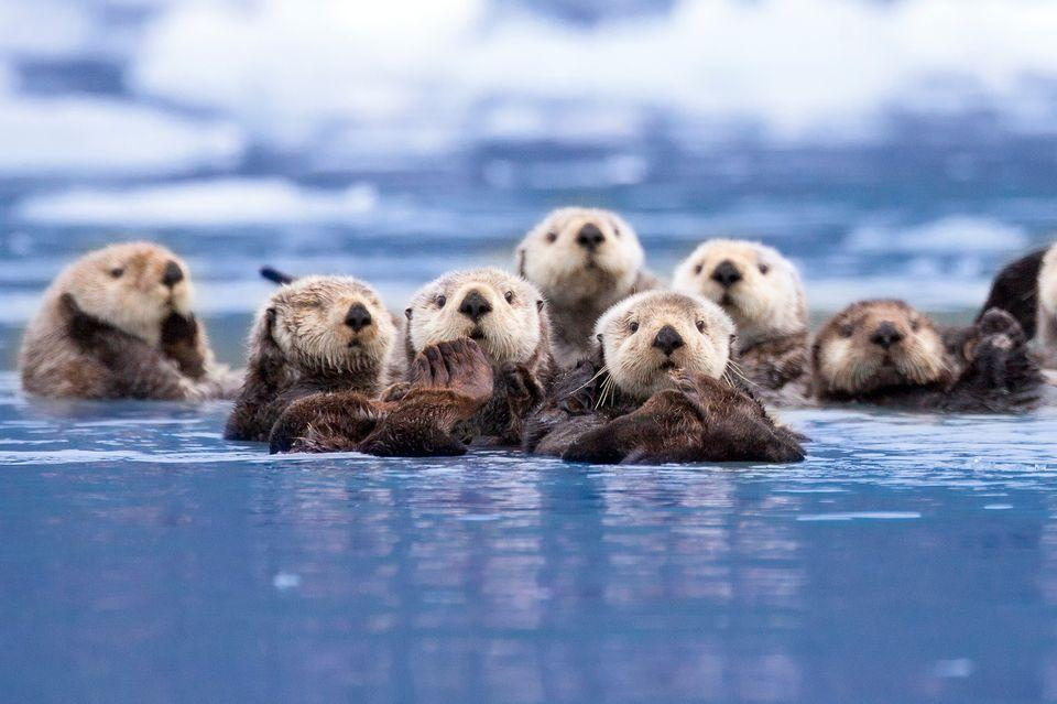 Sea Otter - Endangered