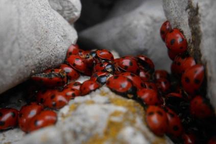 Summit ladybugs