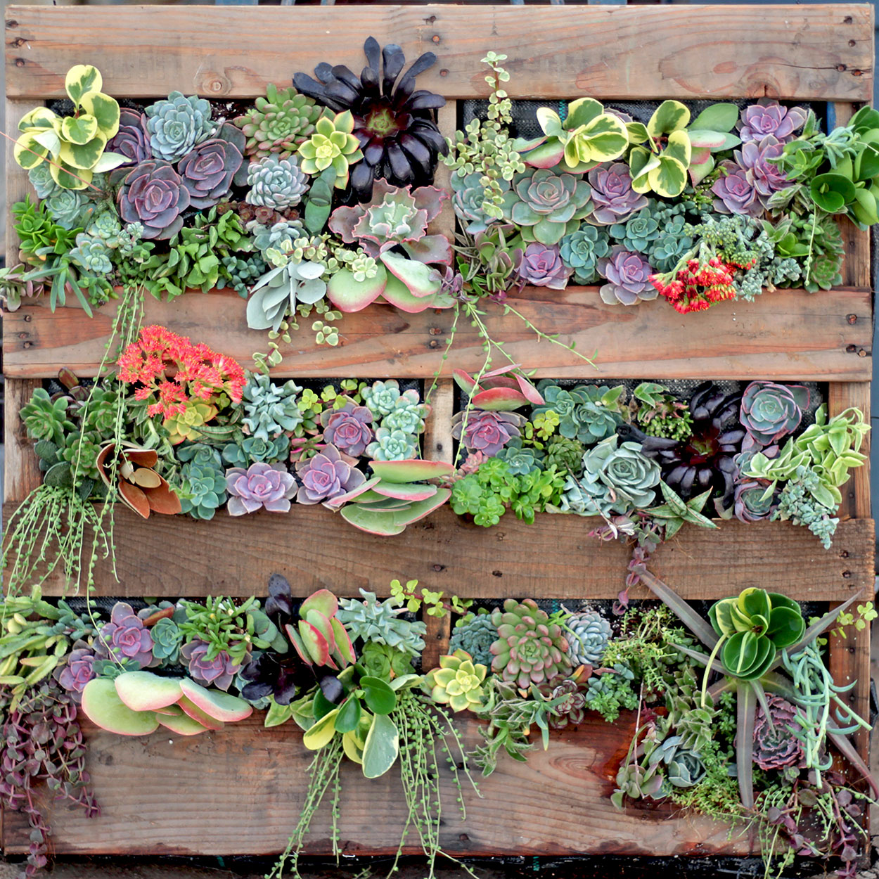 DIY Succulent Living Wall Using Wood Pallet