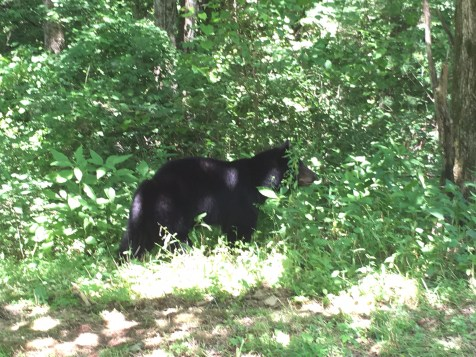 Bear sighting in Georgia