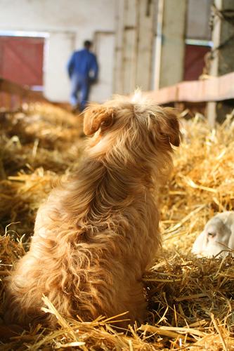 Inside the sheep barn