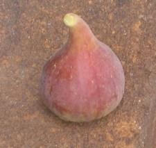 Improved Celeste fig