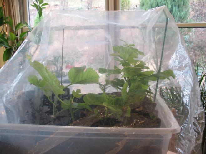 fig-tree-cuttings-2