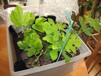 fig-tree-cuttings-5