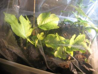 fig-tree-cuttings-8