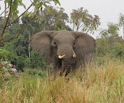 African-bull-elephant