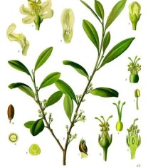Erythroxylum_coca_-_Köhler–s_Medizinal-Pflanzen-204