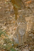 Bobcat. Photo by Harold Jerrell