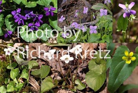 violets_o