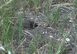 Pocket gopher hole_KCS-CO_LAH_3444