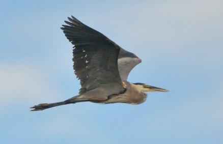 Great Blue Heron_LakeManitou-CO_LAH_1775