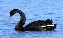 black-swan_myalllakesnp-nsw-australia_lah_9269