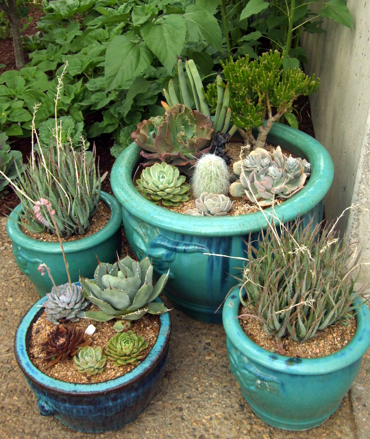 Succulents in containers @DBG 2008jun26 LAH 456