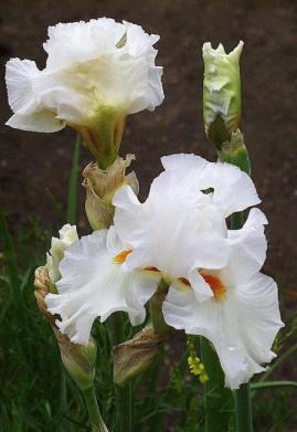 Iris germanica white bloom