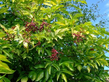 Elderberry @Briargate 2008sept10 LAH 091