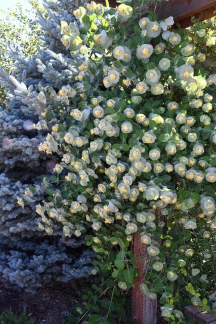 Lonicera reticulata_Kintzley's Ghost Honeysuckle_XG-COS-CO_LAH_8749