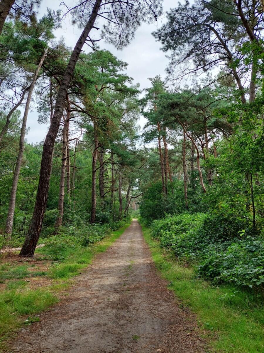 Het dennenbos