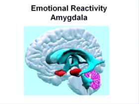 Emotional Activity - Amygdala