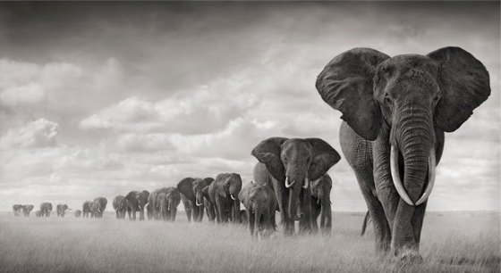 Elephants Walking Through Grass, Amboseli 2008. Leading Matriarch Killed By Poachers, 2009