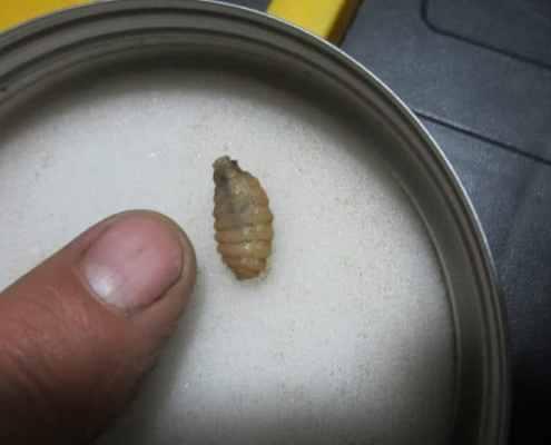 summer parasites