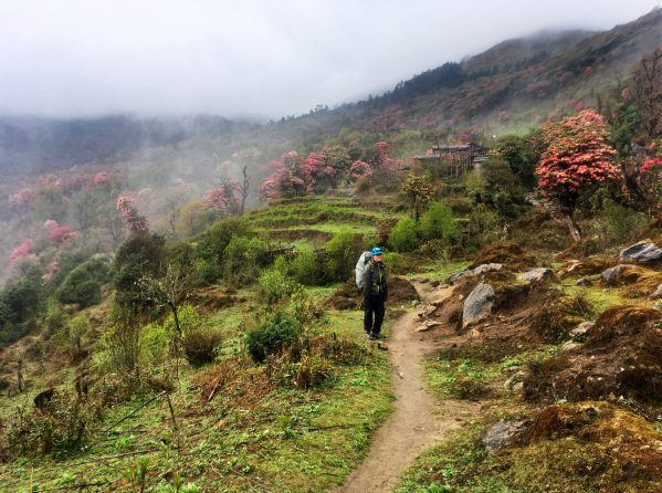 A hiker walks among the rhododendron bloom in the Everest region of Nepal.
