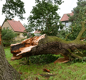 Fallen Tree and Broken Limbs