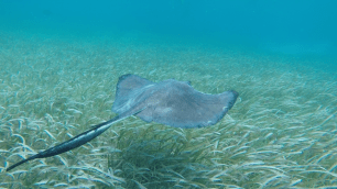 A ray swimming