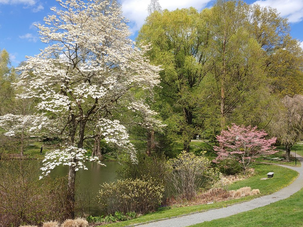 White Flowering Dogwood tree in peak bloom on bank of Willow Pond.