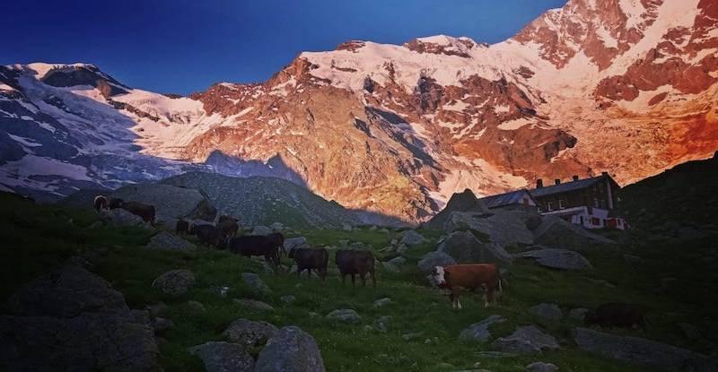 Le mucche che portano a valle il profumo del Monte Rosa