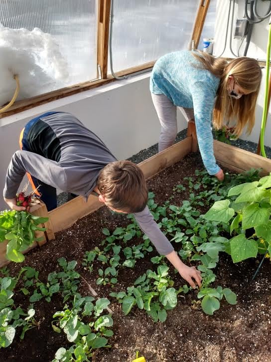 Two children harvesting plants in a greenhouse