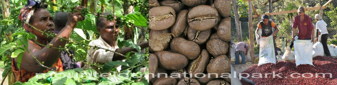 coffe-harvest-mont-elgon