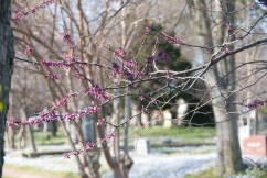 Redbud in early spring