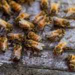 Creating a Buzz: Honey Bee Advocacy in East Cooper