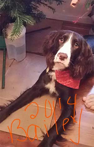 Bailey the English Springer Spaniel, Valierie Romanelli - East cooper's Pets