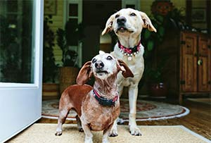 Frank and Beans the Dachshund and Labrador, Louis Yuhasz and Fred Wszolek