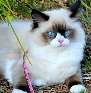 General Sumter the Ragdoll Cat, Teresa Smith - East Cooper Pets