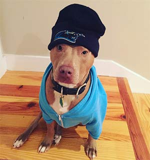 Jack the Pit Bull, Kelly Brides - East Cooper's Favorite Pets