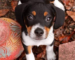 Lilli the Beagle Jack Russell mix, Ashlyn Peterson - Mount Pleasant Pets