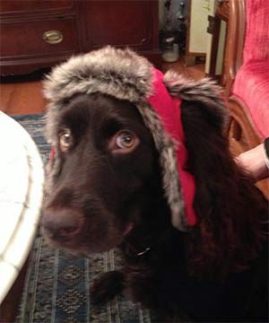 Morgan the Boykin Spaniel, Shelley Challoner - East Cooper Pets