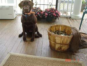 Queenie the Chocolate Labrador, Thomas Kuppens - East Cooper Pets
