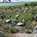 The Return of Crab Bank: Seabird Sanctuary Renourishment Expected to Bring Back Colonies of Nesting Coastal Birds