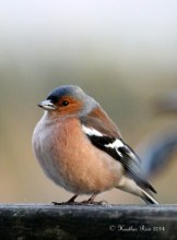 Chaffinch by Heather Rice