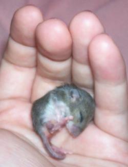 orphaned baby mice g