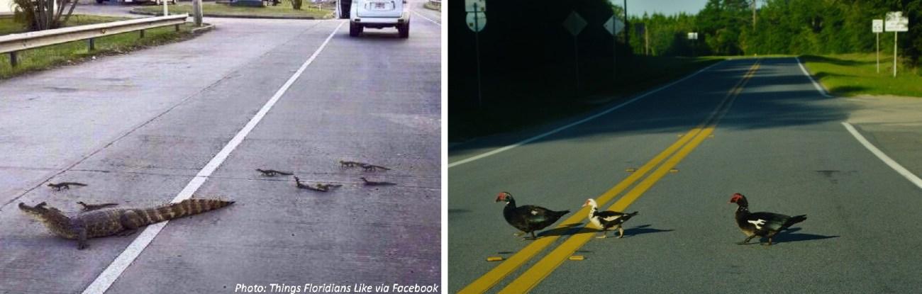 Alligators-crossing-the-roada