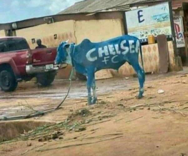 PHOTOS: Chelsea fans buy cow, paint it blue ahead of UCL final