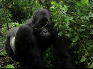 "Kaboko the mountain gorilla in ""Virunga"""