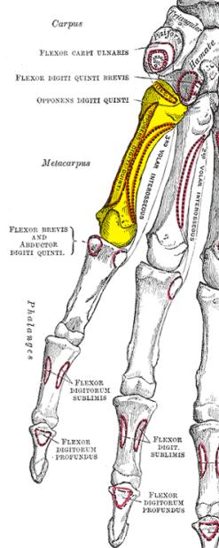Gray219_-_Fifth_metacarpal_bone