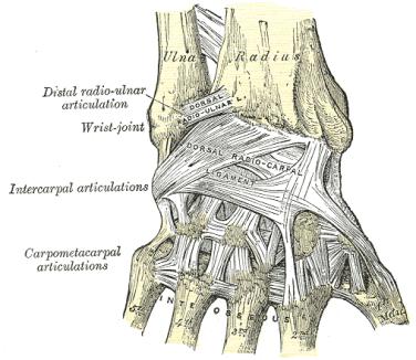 ligamentsthumb2