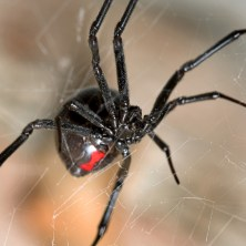 Black Widow Spiders in Maricopa AZ